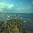 Botany_Bay_seagulls.jpg