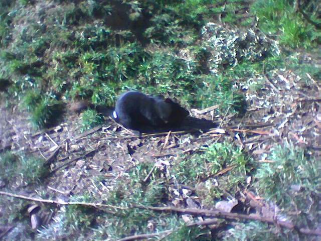 Tasmanian_Devil1.jpg